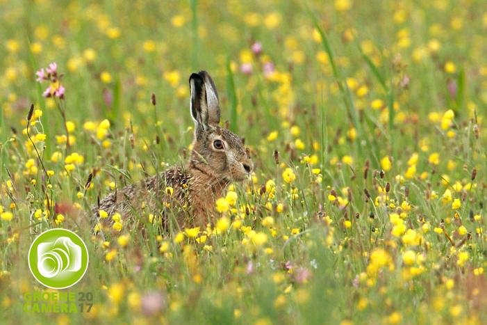 Haas in bloemenweide; Hare in meadow between flowers